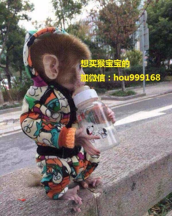 【有意者请联系商家微信:hou999168】本人养殖场有一批袖珍石猴,自产自销,价格公道,品种纯正,手续齐全,袖珍猴产于日本,是猴类中长相和生活习性与人类最接近的品种,脸部和身上皮肤为肉色,毛色为金黄长大后变红,体形在猴类中算较小的,长成年最大不超过大可乐瓶(与饲养中食量有关)。尾巴较短。无特殊的体臭和异味。石猴性格比较温顺,很粘人。尤其从小饲养大多数会把主人当做父母,非常惹人疼爱。它属杂食动物,喜爱水果,面包,糖类食品。长相可爱,体型在灵长类猴科算是非常迷你,石猴虽是动物,却恰巧和日本生产的数码产品拥有